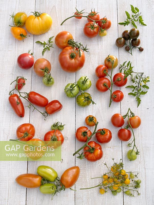 gap gardens tomato varieties orange russian diplom sensual love berner rose country. Black Bedroom Furniture Sets. Home Design Ideas
