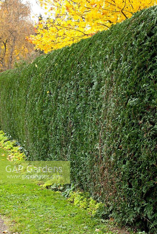 gap gardens thuja occidentalis 39 smaragd 39 hedge yellow. Black Bedroom Furniture Sets. Home Design Ideas