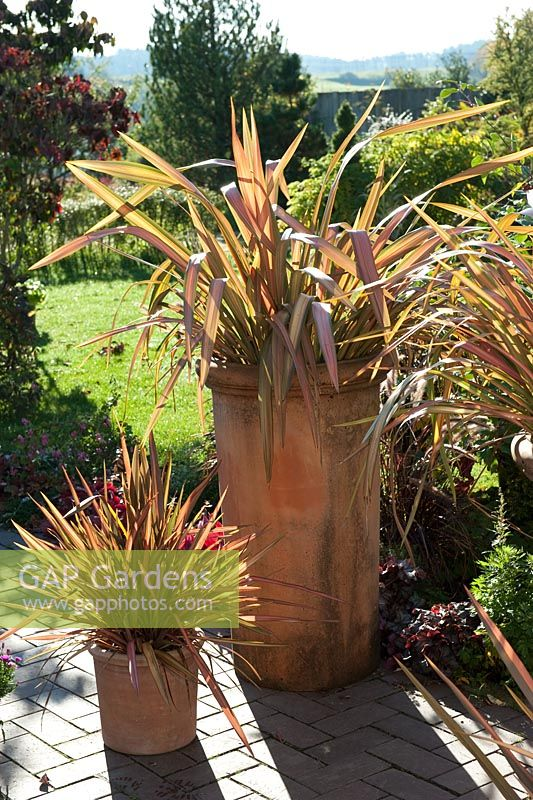 gap gardens phormium tenax 39 jester 39 in terracotta pots image no 0290812 photo by. Black Bedroom Furniture Sets. Home Design Ideas