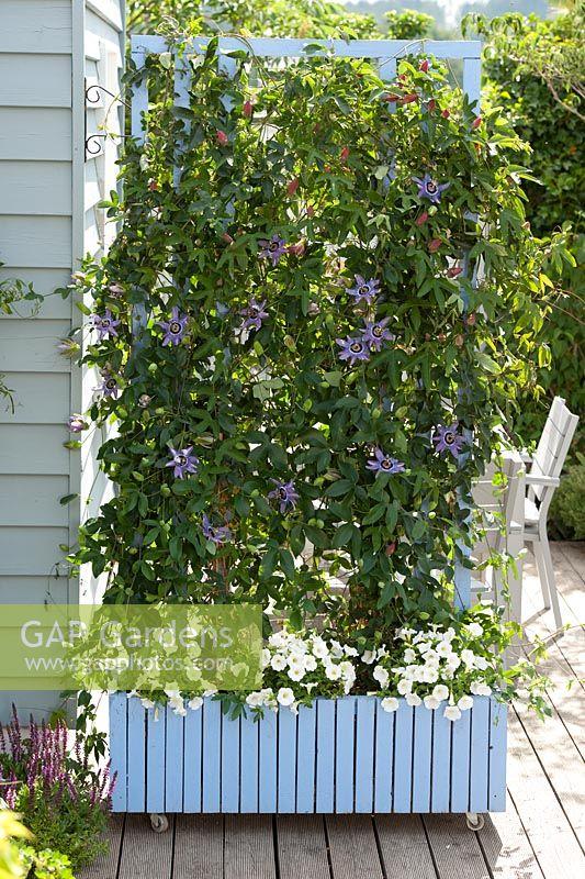 gap gardens passion flower used as a screen in mobile plant pot passiflora 39 atropurpurea. Black Bedroom Furniture Sets. Home Design Ideas