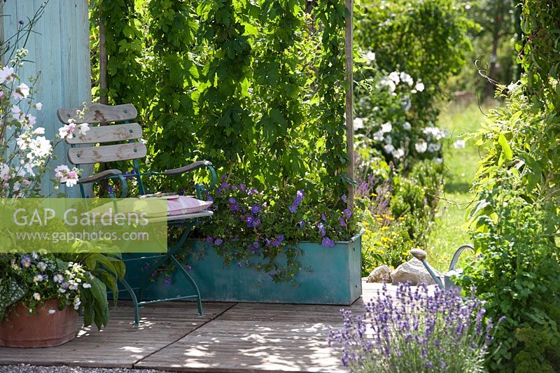 Seating area near planter with Humulus lupulus forming a screen and Geranium 'Rozanne'