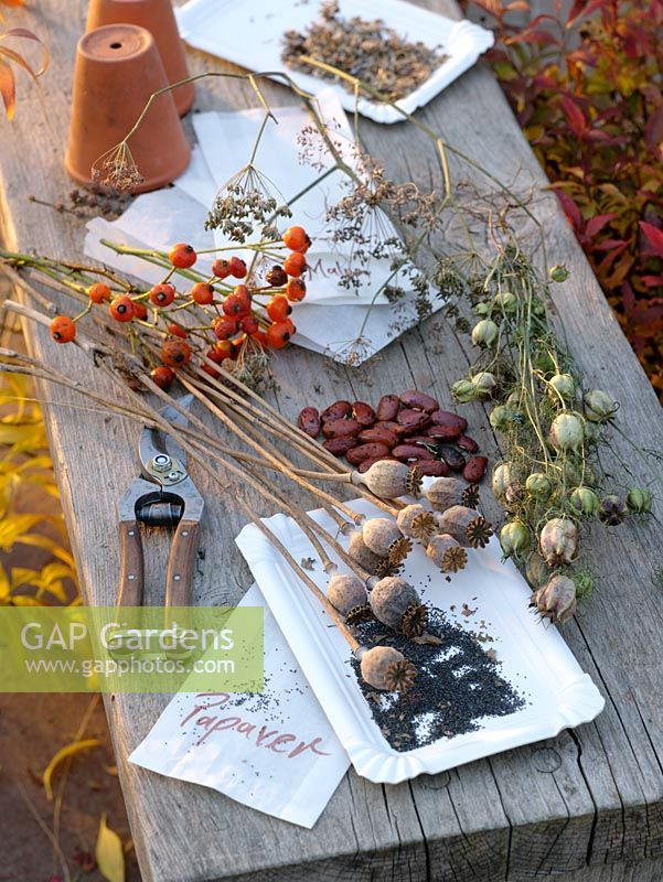 Collected seedheads and seeds - Papaver somniferum, Nigella, Phaseolus, Foeniculum and Rosa