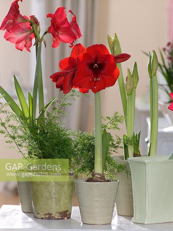 Gap gardens hippeastrum 39 royal red 39 amaryllis image for Hippeastrum royal red entretien