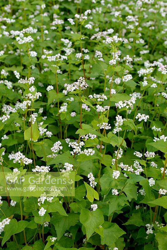 Fagopyrum esculentum - Buckwheat can be used as green manure