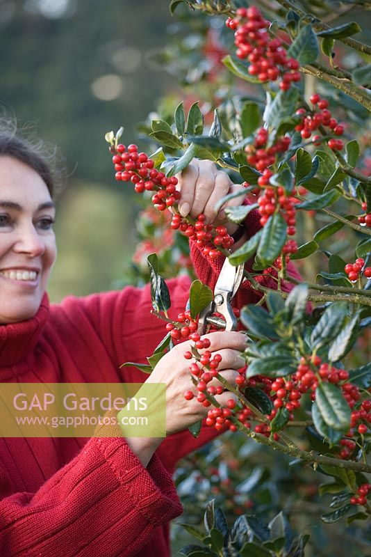 Girl in red jumper cutting Holly from Ilex aquifolium 'Siberia'