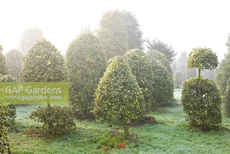 Clipped topiary shapes of Ilex altaclerensis 'Golden King' - Highfield hollies
