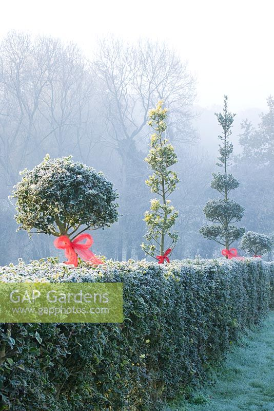 Ilex - Holly hedge and topiary decorated with red ribbons and baubles in frost - Highfield hollies