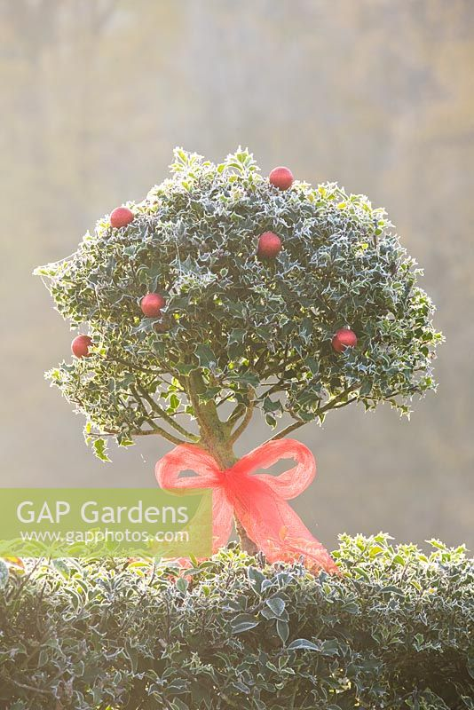 Ilex - Holly hedge and topiary decorated with ribbon and baubles in frost