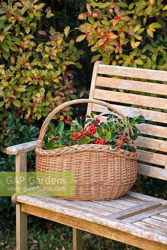 Wooden bench and basket with Ilex - Hollies