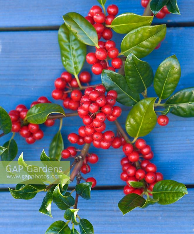 Red berries of the Ilex aquifolium 'J C Van Tol'