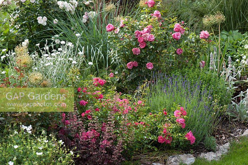 gap gardens summer border of rosa 39 heidetraum 39 and 39 leonardo da vinci 39 lavandula heuchera. Black Bedroom Furniture Sets. Home Design Ideas