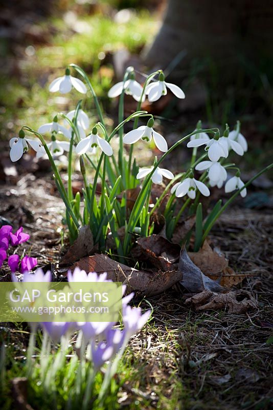 Crocus vernus and Galanthus - Snowdrops in dappled woodland light