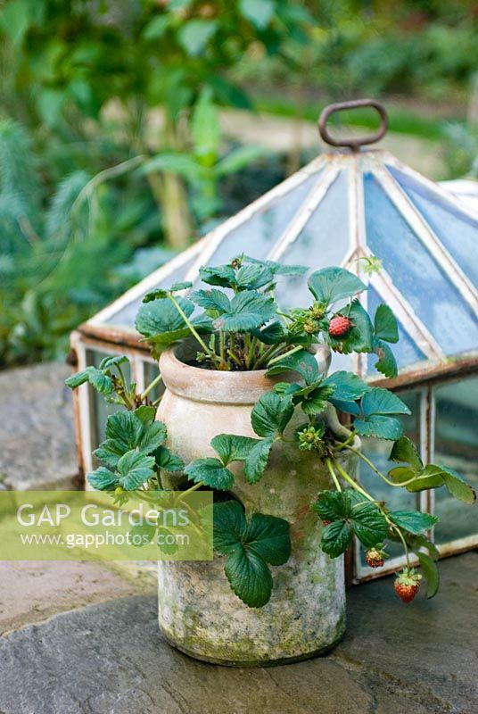 Strawberries in pot with cloche frame
