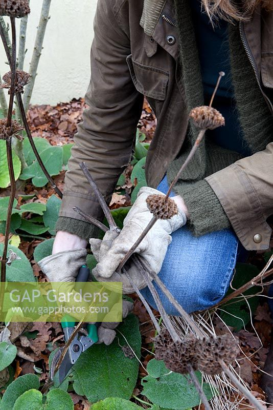 Cutting back dead seed heads of Phlomis