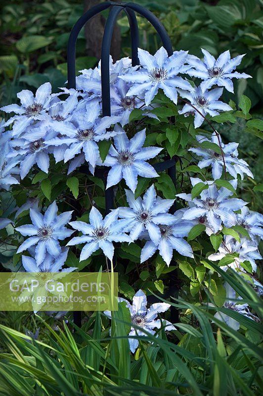 gap gardens clematis 39 blue angel 39 on obelisk image no. Black Bedroom Furniture Sets. Home Design Ideas
