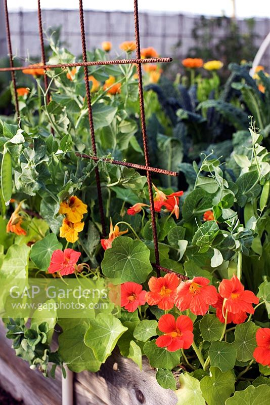 Organic vegetable garden with scented Tagetes tenuifolia - Marigolds, Tropaeolum - Nasturtium, Snow Pea 'Gigante Svizzero', Brassica oleracea 'Nero di Toscana' - Cavolo Nero,  growing in raised bed with metal trellis