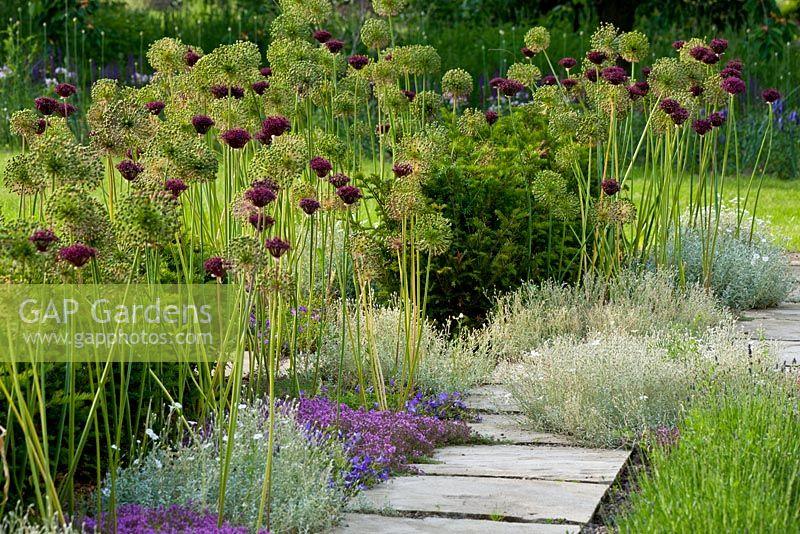 gap gardens next to a flagstone path allium aflatunense 39 purple sensation 39 allium. Black Bedroom Furniture Sets. Home Design Ideas