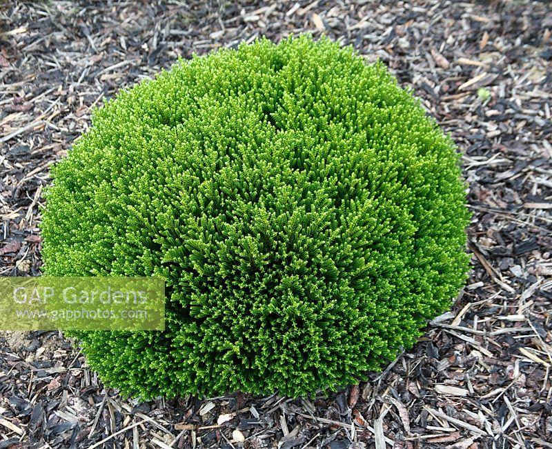 gap gardens hebe 39 green globe 39 image no 0301858 photo by dave bevan. Black Bedroom Furniture Sets. Home Design Ideas