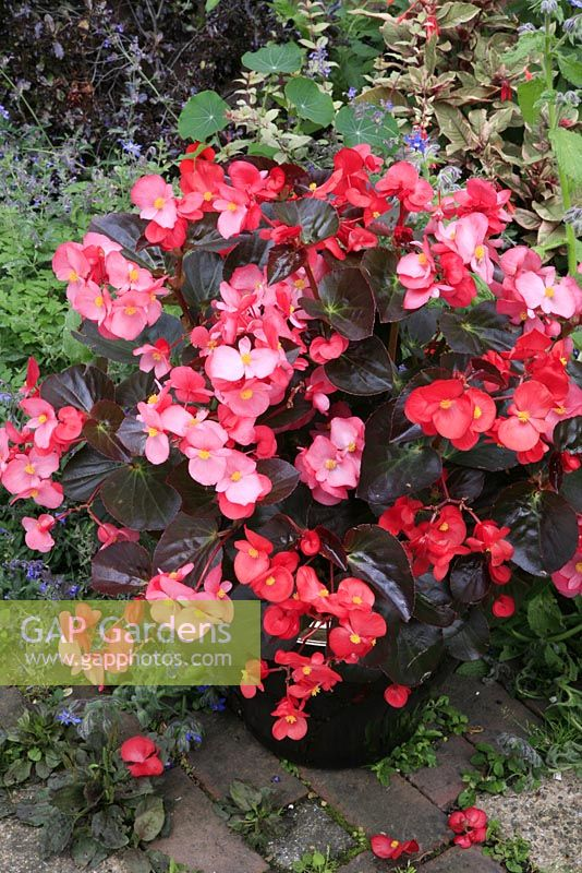 New Begonia 'Big' growing in a silver topped ceramic pot placed on a path edge