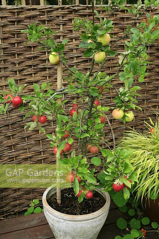 Dwarf 'family' fruit tree combining Malus - Apple 'Elstar' with 'James Grieve' growing in a pot on a deck against a fence with fruit ready to harvest