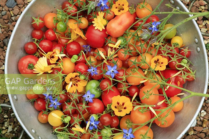 Selection of harvested tomatoes in a colander with edible petals and flowers - Tomato 'Country Taste', 'Shirley', 'Roma', 'Sungella', 'Sungold', 'Gardeners Delight', 'Conchita' and 'Alicante' with borage, nasturtiums and pot marigolds