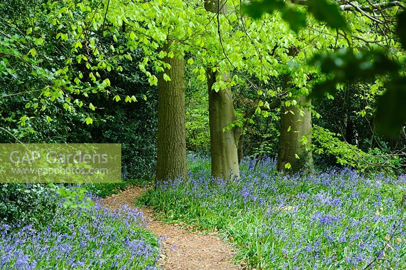Fagus sylvatica and Hyacinthoides non-scripta - Bluebell wood at Coton Manor, Northamptonshire.