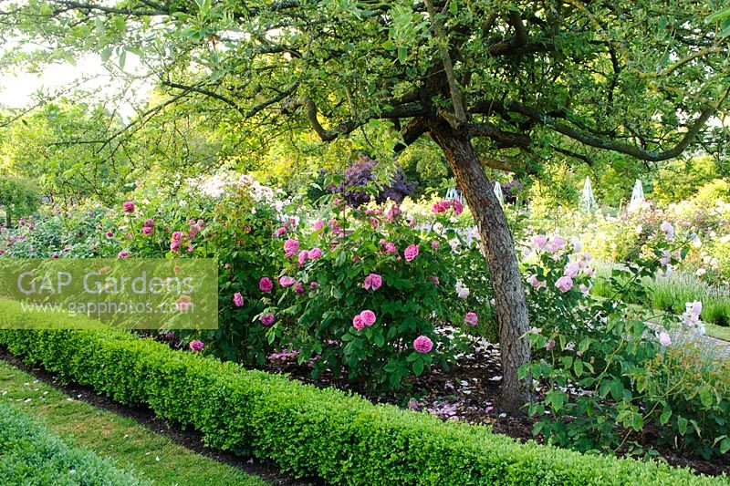 Gap Gardens Rosa 39 Gertrude Jekyll 39 Growing In The Rose Garden Borde Hill Sussex Image No