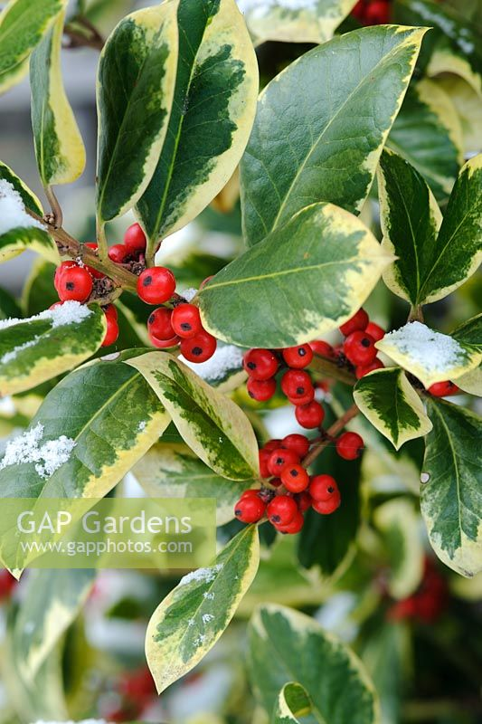 Ilex x altaclarensis 'Golden King' - Variegated holly berries with snow