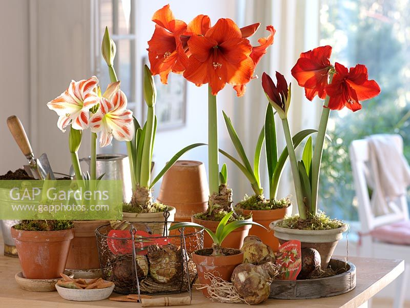 Gap gardens hippeastrum 39 royal red 39 39 tropical orange for Hippeastrum royal red entretien