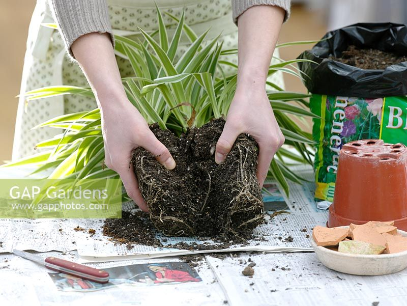 Woman dividing Chlorophytum laxum - Spider plant - breaking up roots