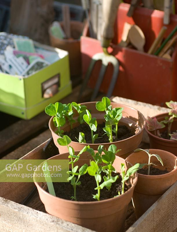 Pea 'Feltham first' seedlings in pots in greenhouse
