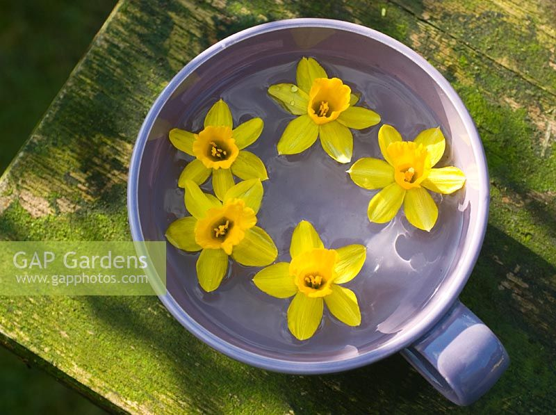 Miniature daffodils floating in cup