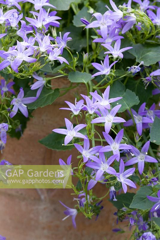 Campanula poscharskyana trailing over the side of a terracotta pot