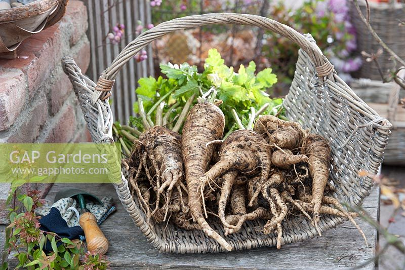 Parsnips 'Counters F1' in a basket