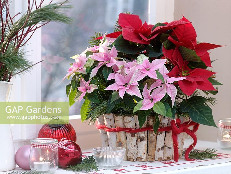 Euphorbia pulcherrima 'Princettia Pink' and E. 'Cortez Red' in pot wrapped with Birch bark