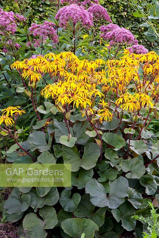 Ligularia dentata 'Othello', Eupatorium
