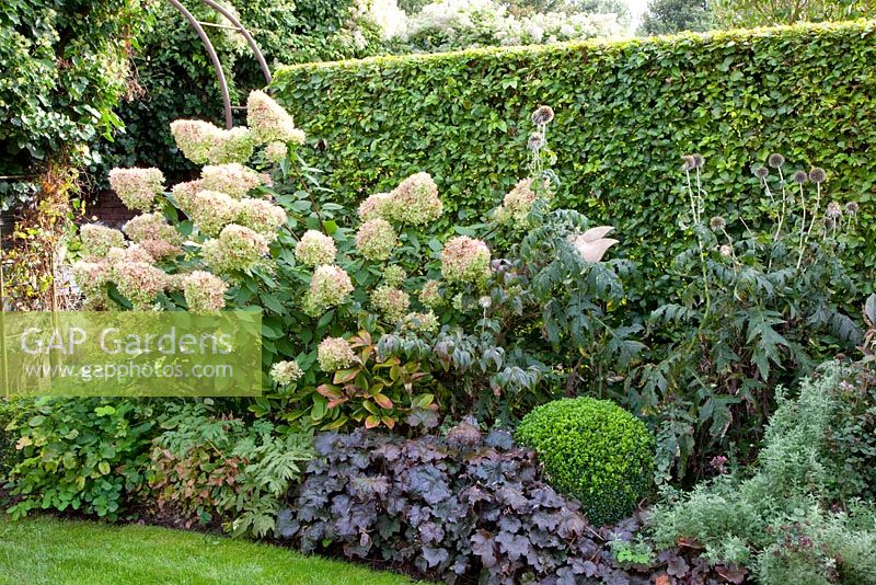 gap gardens box hydrangea paniculata 39 limelight. Black Bedroom Furniture Sets. Home Design Ideas