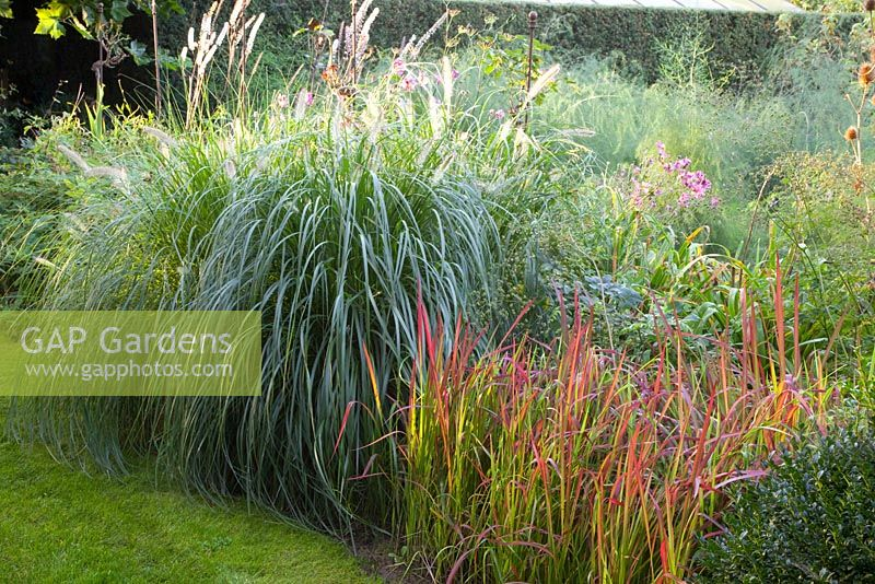 gap gardens pennisetum alocepuroides imperata cylindrica 39 red baron 39 huys en hof image no. Black Bedroom Furniture Sets. Home Design Ideas