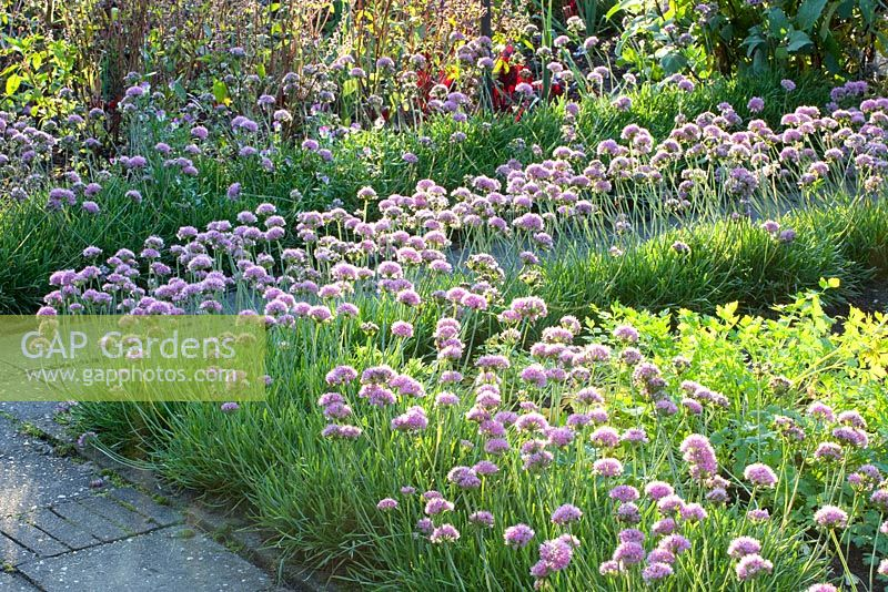 Allium senescens edging border in potager - Boschhoeve