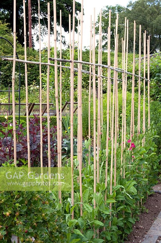 Gap gardens lathyrus sweet peas growing up canes in vegetable garden preen manor for How to use preen in vegetable garden