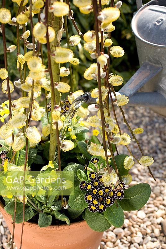 Planting spring container with Salix caprea, Primula veris and Primula 'Gold Lace' - Watering in