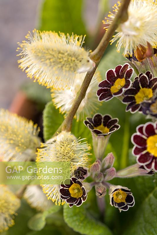 Salix caprea with Primula 'Gold Lace'