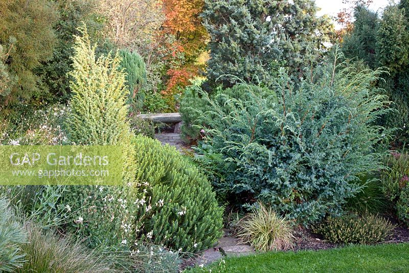 Evergreen border in Autumn - Hebe, Pennisetum 'Little Bunny', Juniperus communis 'Hibernica', Juniperus squamata 'Meierii', Gaura lindheimeri and Pinus strobus 'Radiata'