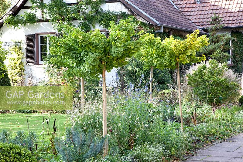 gap gardens gingko biloba 39 mariken 39 trained as standards. Black Bedroom Furniture Sets. Home Design Ideas