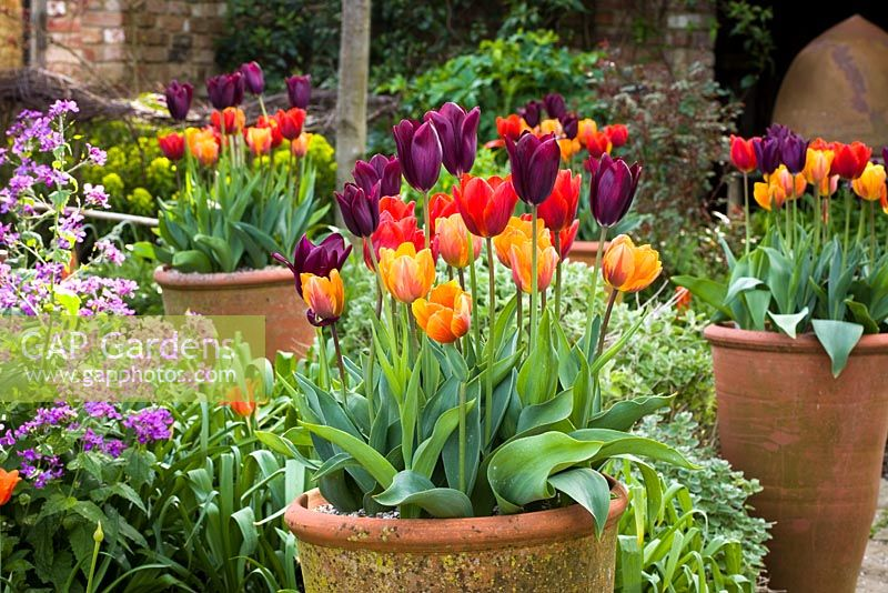 Tulipa 'Havran', 'Prinses Irene' and 'Coleur Cardinal' growing in pots in the oast garden at Perch Hill