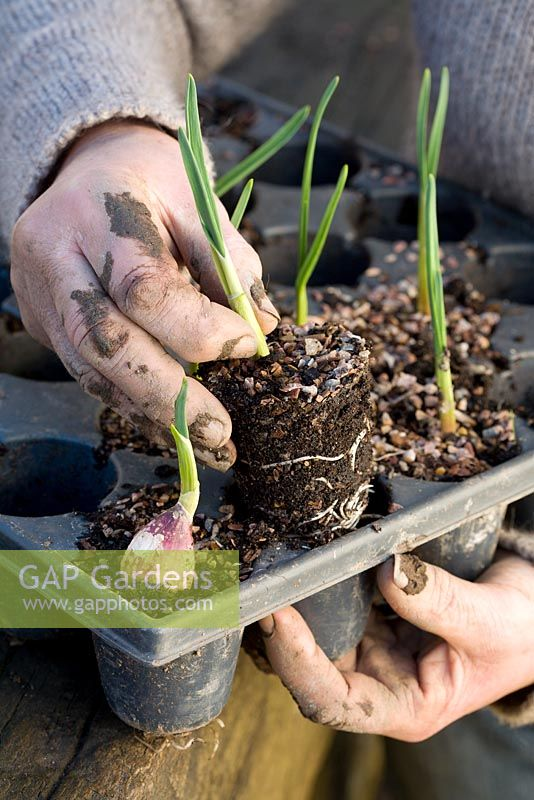 Planting out Garlic - removing young plug plant from tray