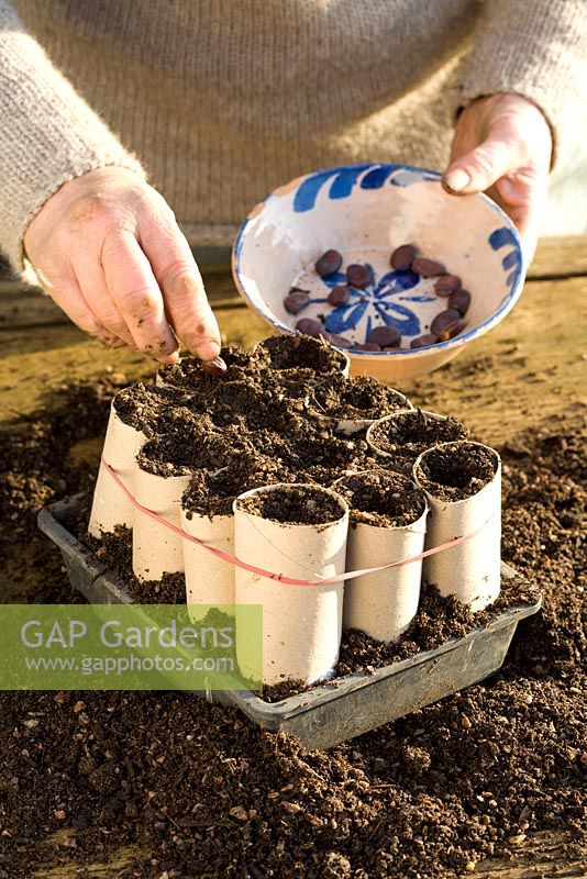 Sowing Broad Beans in recycled loo rolls - flling toilet roll middles with compost