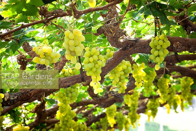Vitis vinifera 'Muscat of Alexandria' - Grapes growing in the glasshouse at Chatsworth