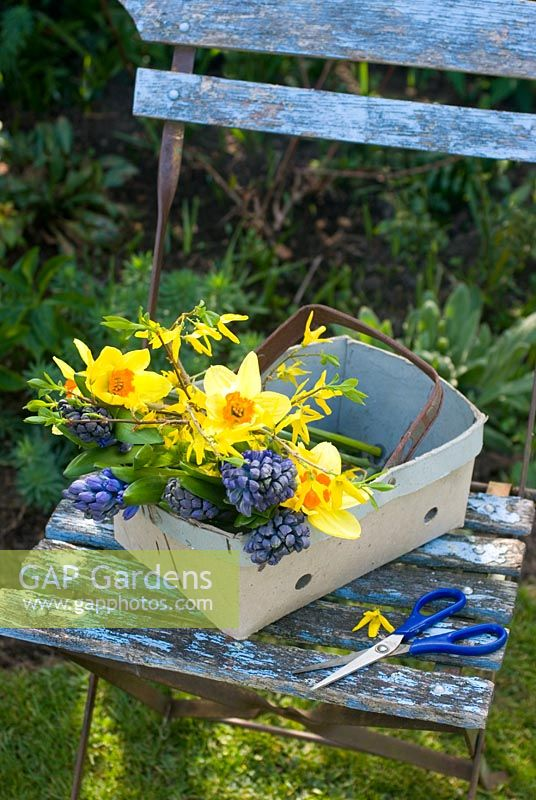 Cutting spring flowers - narcissi, blue hyacinths and forsythia