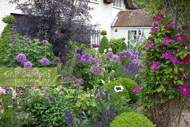gap gardens purple themed cottage garden with allium 39 globemaster 39 salvia nemorosa. Black Bedroom Furniture Sets. Home Design Ideas